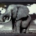 rox9_elephant